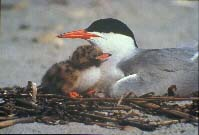 common tern & chick - T. Vezo